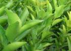 玉林091沃柑苗基地