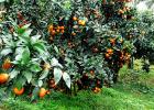象州无籽沃柑苗多少钱一棵