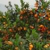 象州目前血橙苗在那里有卖啊