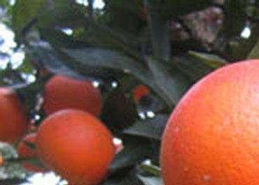 钦州血橙苗多少钱一棵