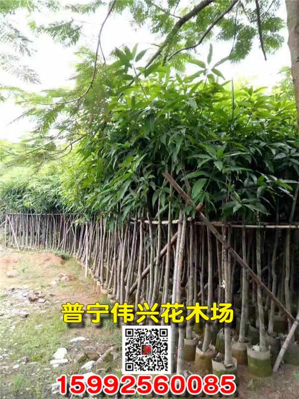 芒果树袋苗大型培育基地 价格实惠芒果树供应商