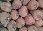 魔芋種子批發,技術指導,簽訂保底回收