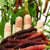 台湾长果桑苗超长四季桑葚果树苗特甜珍稀采摘园果苗正宗长桑葚苗