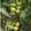 西红柿种子有哪些?都有啥特点?高产西红柿种子