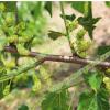 白玉王果桑苗白玉皇桑葚果树苗大个白色桑葚品种北方抗冻桑果树苗