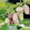 白珍珠果桑苗白色桑葚果树苗采摘园果树提供桑葚种植技术服务