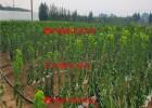 3公分樱桃苗、3公分樱桃苗批发、3公分樱桃苗基地