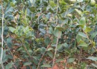 ,高产油茶树苗圃基地,油茶容器营养杯苗,油茶苗批发,茶油苗