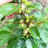 红玛瑙果桑苗成熟纯白的桑葚品种丰产的白色桑葚果树苗南北桑果苗