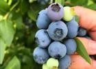 双丰蓝莓苗价格 山东双丰蓝莓苗基地