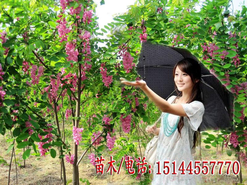 香花槐-富贵树190