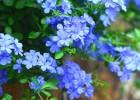 令花卉项目三角梅盆景,绿化养护管理服务外包