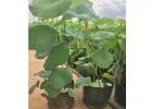 水生植物种苗批发,水生植物种苗基地,销售水生植物公司
