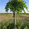 垂桑苗垂枝桑树苗观赏桑树品种枝条自然下垂