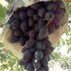 紫甜无核葡萄苗