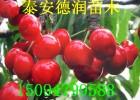 矮化鲁樱三号樱桃苗多少钱一棵