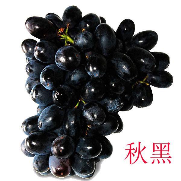 秋黑葡萄苗