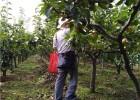 2020年梨树新品种红梨树苗种植基地