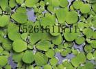 水生植物销售价格,水生植物价格,水生植物价格报价