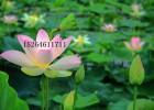 水生植物销售供应,水生植物供应,水生植物销售