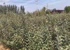 今年瑞阳苹果树苗多少钱一棵 瑞阳苹果树苗品种介绍