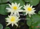 寧夏盆栽睡蓮種植基地 睡蓮苗銷售廠家