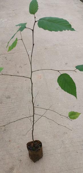 光皮桦袋苗 光皮桦种子 光皮桦苗 光皮桦树种