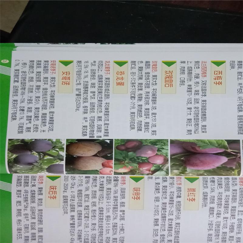 2公分玫瑰皇后李子苗价格行情、玫瑰皇后李子苗报价及价格表