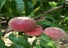 白肉蟠桃苗 36-3奶油蟠桃树苗
