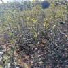 黄金梨树苗基地、黄金梨树苗2020年价格