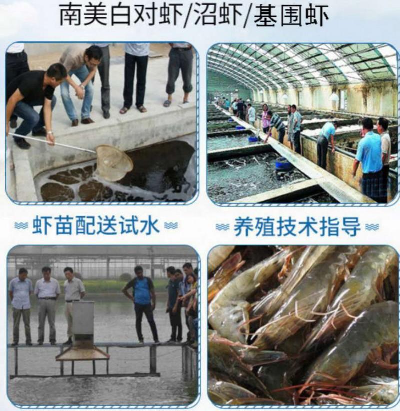 南美白对虾淡水养殖 南美白对虾养殖技术