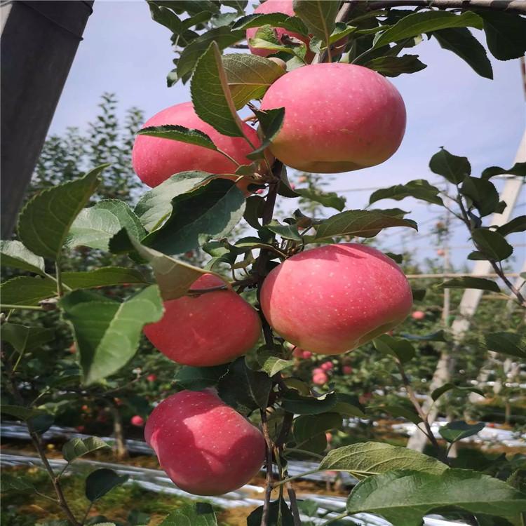 懒富苹果苗、懒富苹果苗基地