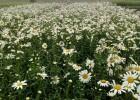 绿化草花价格,青州草花种植,草花种子多少钱
