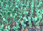 小苗低价直销,小苗花卉厂家,花卉合作社