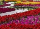 花卉种植市场,花海景观花卉,宿根花海花卉