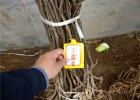 新梨七号梨苗、3公分早熟梨树苗品种