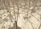 绿宝石梨树苗多少钱一棵 4公分梨树