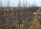 奥冠红梨树苗、奥红梨树苗品种