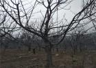 俄罗斯8号樱桃苗价格 2公分樱桃苗价格