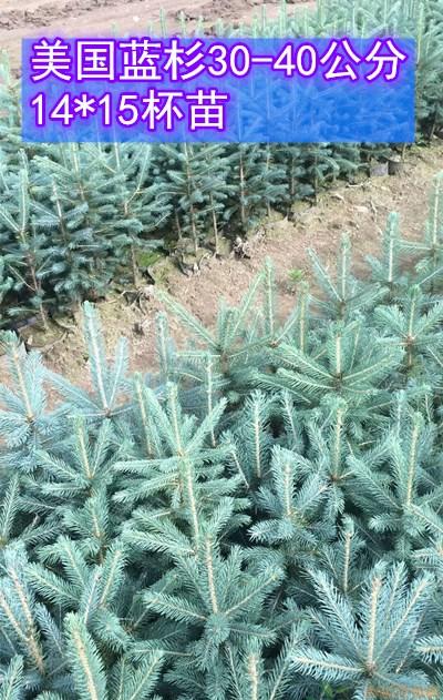 蓝杉价格 供应14*15杯 30-40公分美国蓝杉树苗
