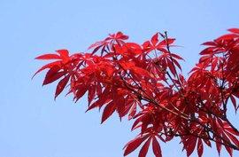 出售苗木红枫