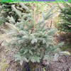 蓝杉价格 供应21*21杯 60-100公分美国蓝杉树苗