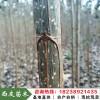 河南杨树苗批发107速生杨树苗价格白杨树苗厂家无絮杨树苗