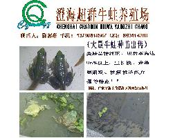 广东省汕头市澄海区超群牛蛙(美蛙)养殖场