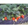 供应草莓苗的施药喷雾法