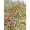 供应木瓜苗抑制栽的主要特点是什么