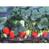供应草莓种植园地选择_木瓜苗