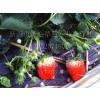 供应草莓秧苗定植