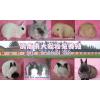 供应中国最专业的宠物兔养殖场批发各种宠物兔