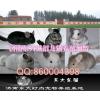 供应东大龙猫养殖场毛丝鼠养殖场龙猫批发